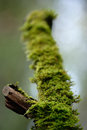 Green moss on the snag Stock Photography
