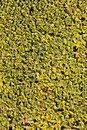 Green moss texture Royalty Free Stock Image