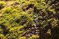 Green moss texture on tree bark Royalty Free Stock Photography