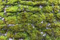 Green moss on the wall. Moss Background Royalty Free Stock Photo