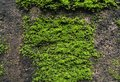 Green Mosses plants on the concrete brick wall Royalty Free Stock Photo