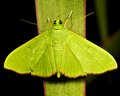 Green moth on a leaf on a black background Stock Photo