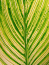 A green mottle leaf Royalty Free Stock Photography