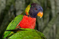 Green-Naped Lorikeet Royalty Free Stock Photos