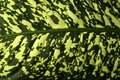 Background, texture - a wide spotted leaf surface of a tropical plant
