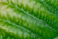 Green nature leaf texture in details as natural background or wa Royalty Free Stock Photo