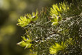 Green needles of pine tree as natural background Stock Photos