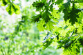 Green oak foliage in summer rainy day Royalty Free Stock Photo