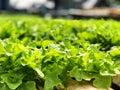 Green Oak on the hydroponics Farm, Healthy menu for diet