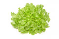 Green oak leaf lettuce on white background Royalty Free Stock Photo