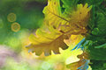 Green oak leaves bokeh Royalty Free Stock Photo