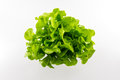 Green oak salad isolated on the white background Royalty Free Stock Image