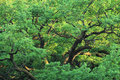Green oak tree. Stock Photography