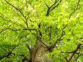 Green oak tree detail of in summer time Royalty Free Stock Photography