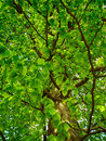 Green oak tree detail of in summer time Royalty Free Stock Images