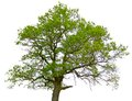 Green oak tree isolated Royalty Free Stock Image