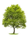 Green oak tree isolated on white background. Nature object Royalty Free Stock Photo