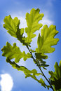 Green oak tree leaves  Stock Photo