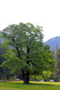 Green Oak tree of Yosemite Valley, Yosemite National Park Royalty Free Stock Photo