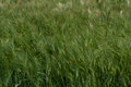 Green oat crop field of Stock Photography