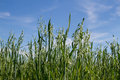 Green oat unripe on the blue sky Royalty Free Stock Photo