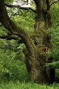 Green , old oak. Royalty Free Stock Images