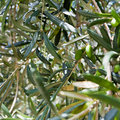 Green olive tree Stock Images