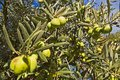 Green olive tree on a blue sky background in Greece Royalty Free Stock Photo
