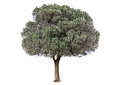 Green olive tree Royalty Free Stock Photo