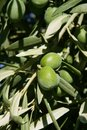 Green olive tree with macro closeup fruits Royalty Free Stock Images