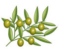 Green olives branch Royalty Free Stock Photography