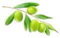 Green olives branch with isolated on white Stock Photos