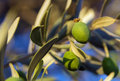 Green olives on a branch in summer Stock Image