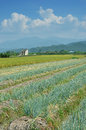 Green onion field Stock Image