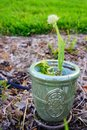 Green onion flower Royalty Free Stock Photo