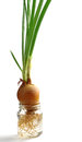 Green onion growing in a glass jar with water Royalty Free Stock Photo