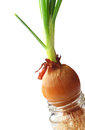 Green onion growing in jar with water Royalty Free Stock Photo