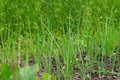 Green onion leaves growing on garden beds. Royalty Free Stock Photo