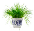 Green onion scallions in a pot isolated over the white backgroun Royalty Free Stock Photo