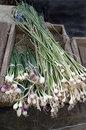 Green onions and garlic bunches of plants Royalty Free Stock Image