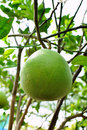 Green orange fruit tree Royalty Free Stock Photos