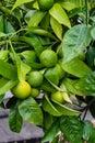 Green orange fruits on plant from citrus sinensis orange tree close up Royalty Free Stock Photo