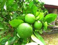 Green oranges on a branch, citrus tree with fruits Royalty Free Stock Photo