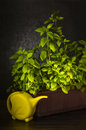 Green organic basil with yellow water pot on dark background Royalty Free Stock Photo