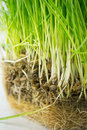 Green organic wheat grass close up Stock Image