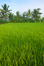 Green paddy field in the plains of Jogjakarta Royalty Free Stock Photography