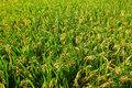 Green paddy rice field Stock Photo