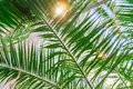 Green palm branches against blue sky. Tropical Summer vacation concept background Royalty Free Stock Photo