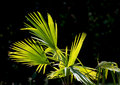 Green palm frond beautiful showing fresh and yellow details in daylight Stock Photos