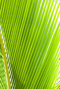 Green palm frond closeup photo of branches close up Royalty Free Stock Images